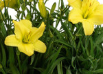 Yellow Daylily are Easy to Grow and Multiply Quickly and Look Excellent around Decks and Natural Areas