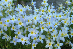 Bluets grow amongst grassy areas, such as meadows, lawns, grassy trails, or amongst tufts of grass at the bases of trees.