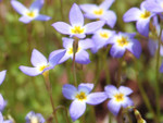 The Bluet plant is often found in striking patches of light blue.