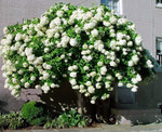 Peegee hydrangeas, will grow and bloom in a wide variety of climates.