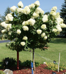 The Pee Gee hydrangea grows in acidic, loamy, moist, rich, sandy, silty loam, well-drained and clay soils.