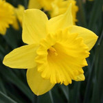 Daffodils are Particular Striking and Come Highly Recommended for Fertile, Well-Drained Soils. Beautiful Choice to Line Driveways and Walkways
