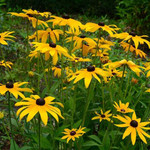 Black-eyed Susans are drought tolerant but respond well to an occasional watering.