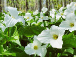 Great White Trillium gets into direct sunlight the leaves will turn brown and fall off