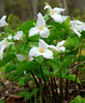 Great White Trillium will Thrive and do well in Moist, Well-Drained Soils