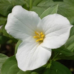 Great White Trillium is a Low Growing Perennial