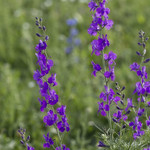 Larkspur have long stems, which are covered in clusters of star-shaped blooms.