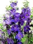 Larkspur purple flowers belong to the buttercup family and feature thin stems covered in dainty blooms.