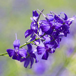 Purple Larkspur is a Tall, Graceful Annual