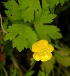 Buttercup, any of about 250 species of herbaceous flowering plants in the family Ranunculaceae.