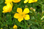 Buttercups are most troublesome in beds of annual flowers and vegetables where they compete directly.