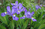 "Dwarf crested iris, is a low-growing, rapidly spreading plant that typically grows to 3-6"" tall."