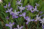 Dwarf Crested Iris is a perennial and is native to the eastern United States.