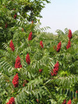 Smooth sumac seedlings are for sale