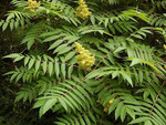 Smooth sumac is a U.S. native, deciduous, large shrub to small tree, seldom over 10-15 feet tall.