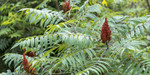 Smooth sumac seedlings is found in open woodlands, prairies, on dry rocky hillsides, and in canyons.
