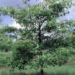 Southern Red Oak Seedlings is the perfect shade tree in a yard on a residential street.