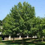 Southern Red Oak Seedlings is an excellent source of food for most all woodland critters.