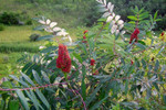 Staghorn Sumac Seedlings is a Great Beginner Traditional Garden Plant