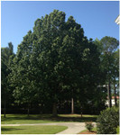Swamp chestnut oak is a native, medium to large mast-producing tree that can grow up to 100 feet tall.