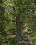 Swamp Chestnut Oak is a species in the white oak species of the beech family.