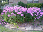 Tall garden phlox grows in upright clumps and has long been a popular perennial for the landscape.
