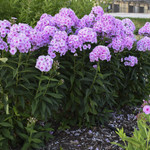 Divide tall garden phlox every 2 to 3 years to ensure healthy and disease-free plants.