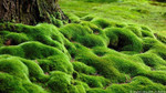 Tree moss looks like a beautiful and luxurious green carpeting that covers your lawn and can replace grass, or your ground if you want.