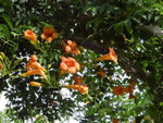 Trumpet creeper is a fast-growing plant that thrives in most soils.