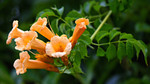 Trumpet creeper is a fast-growing perennial vine.