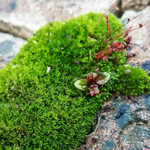 Hypnum cupressiforme is a type of Sheet Moss that grows in a dense sheet across soil and rock.