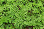 Netted chain fern, is a deciduous fern of eastern North America which typically occurs in woodland swamps and bogs.