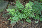 Netted chain fern is a deciduous, colony-forming, waxy green fern which stands 1-2 ft. high and has fronds 4-8 in. wide.