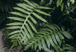 Netted chain fern is easy to overlook, since it looks similar to sensitive fern, which is much more common.