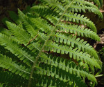 Silvery Glade Ferns can be found growing in hardiness zones 3 through 7.