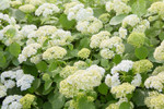 Wild hydrangea arborescens like slightly acidic soil that is nutrient rich.