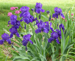 Bearded Iris thrive in well-drained soils.