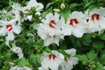 White Hibiscus shrub contains needing a sunny place with good soil drainage.