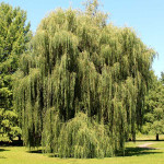 Weeping Willow Live Stakes is a Flowering Deciduous.
