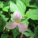 Pink Trillium Attract White Tailed Deer and is a Stand Out Plant.
