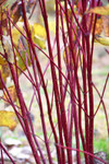 Red-osier Dogwood is another species commonly grown from live stakes that develops excellent root strength.