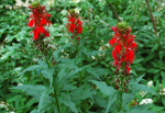 Red Lobelia the bright red flowers are tubular with the upper lip having two lobes while the bottom rim has three