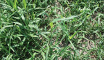 Crabgrass is a warm-season annual that germinates, lives and dies all in the same year.
