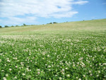 Field Clover is an excellent grass to add to bare spots on a lawn.