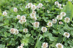 Field Clover will give a natural look to a lawn.