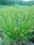 Fox Sedge is a remarkably adaptable wetland sedge that forms beautiful fine-leaved mounds, two feet in diameter.