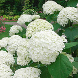 ​Hydrangea Plant Information You Need To Know For The Garden