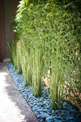 ​Horsetail Sedge Is A Wetland Favorite: Garden Delights ..