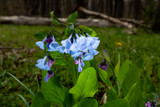 Tips For Caring For Your Virginia Bluebells: Get Great Help