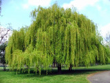 ​All About the Swamp Willow And How It Can Help You
